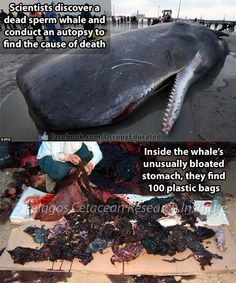 Sperm whale dies bringing humanity a message from the ocean - a stomach full of plastic trash. Our Planet, Save The Planet, Planet Earth, Save Our Oceans, Gray Whale, Stop Animal Cruelty, Animal Testing, Animal Rescue, Plastic Pollution