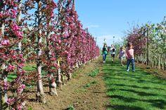 Haag van Redlane appels. Roze bloesem in het voorjaar, rode fris zure appeltjes in september. http://www.minitree.nl/info/15-minitree-fruithaag