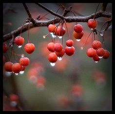 Rain drops on berries. Sound Of Rain, Singing In The Rain, Dew Drops, Rain Drops, Rainy Night, Rainy Days, I Love Rain, Drip Drop, Morning Dew