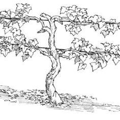 Best Photos Of Grape Vine Coloring Page Clip Art
