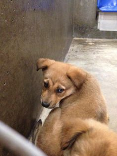 Shepherd mix female Less than 4 months old Kennel A27*****$35 to adopt  Available 6-9-2014   Located at Odessa, Texas Animal Control. 432-368-3527.