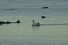 Swan's song. Swan Song, Outdoors, Peace, Songs, Nature, Animals, Naturaleza, Animales, Animaux