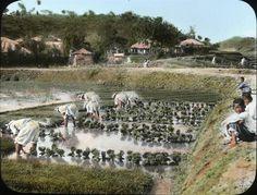 100년전의 농촌풍경, 모를 찌고있는 모습이다.