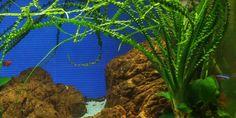 2: Crinum calamistratum - Tropica Aquarium Plants