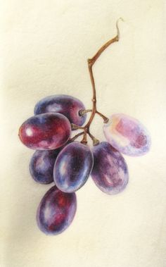 Botanical Sketches and Other Stories: Exciting Times! Botanical Sketches and Other Stories: Exciting Times! L'art Du Fruit, Fruit Art, Watercolor Fruit, Fruit Painting, Botanical Drawings, Botanical Art, Botanical Gardens, Grape Drawing, Pencil Drawings