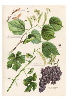 Vintage Originaldruck von 1903: Linde und Weinstock / vintage artprint, grapes, plants by ART11 via DaWanda.com