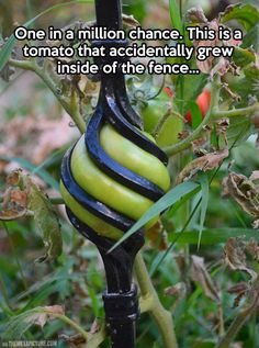 Funny pictures about Tomato in the fence. Oh, and cool pics about Tomato in the fence. Also, Tomato in the fence.