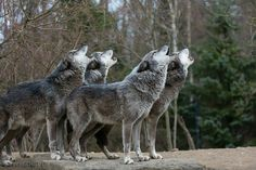 Howling timber wolves
