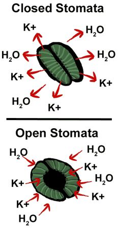 teaching biology Stomata open when K+ enters guard cell ed by water; stomata close when K+ leaves the guard cell ed by water Study Biology, Biology Lessons, Ap Biology, Science Biology, Teaching Biology, Science Education, Life Science, Physical Science, Earth Science