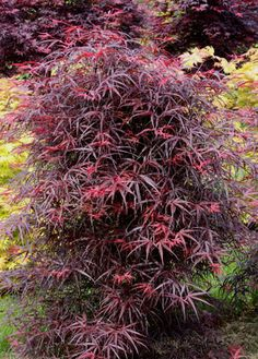 Acer palmatum 'Hubb's Red Willow'- cool look Japanese Maple Varieties, Dwarf Japanese Maple, Deciduous Trees, Trees And Shrubs, Trees To Plant, Evergreen Shrubs, Acer Garden, Fairy Garden Plants, Garden Trees