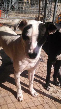 Bosco Dalmatian  Rhodesian Ridgeback Mix • Young • Male • Large Humane Society of Marion County Jefferson, TX