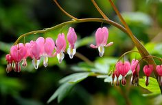 Bleeding heart flowers in Luoyang, in central China's Henan Province. Various flowers are in full blossom as spring comes.