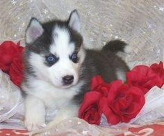Beautiful blue-eyed Siberian Husky puppy.