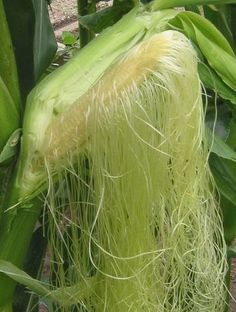 Corn Silk. Don't throw out this Powerful Kidney and Lymph Cleanser! There are 4-6 cups of powerful slimming and healing tea on every ear of corn. The Diuretic action is fast, yielding marked relief from bloating and puffiness within 60 minutes. It rids the body of all excess water, and stale trapped lymph fluid within Two (2) Hours. Make sure it's organic (pesticide free). Plant some GMO FREE Corn right now, the organic corn silk yield will be worth the effort.