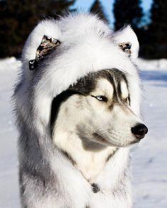 "Huskyception Miss Miska wearing the ""Husky"" #Spirithood Use Code: HuskyHusky for 10 % off @Spirithoods"