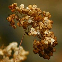 dry flowers by SvitakovaEva on deviantART Hydrangea Colors, Hydrangeas, Ivy House, Caramel Color, Natural Forms, Rust Color, Flower Wallpaper, Fall Harvest, Earth Tones