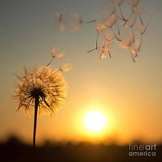 Dandelion Wallpaper, Sun Aesthetic, Nature Pictures, Cute Wallpapers, Find Art, Framed Artwork, Beautiful Flowers, Nature Photography, Abstract Photography