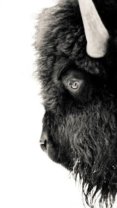 I would love to have this bison print hanging on my wall.  Does anyone know where it's from?