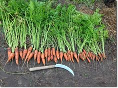 PRI Zaytuna Farm - Main Crop Carrots