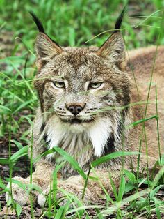 """""""I'm handsome and I know it!""""(Skipper Canadian Lynx)"""