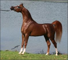 The Arabian Stallions in the show ring honor this breed with their majestic perseverance.