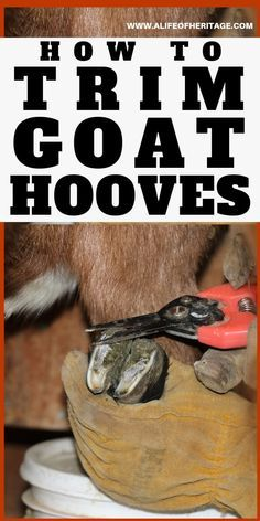 How to Trim Goat Hooves - The Best Goat Playground Ideas, Tips, Plans and Images Raising Farm Animals, Raising Goats, Trimming Goat Hooves, Cabras Boer, Goat Playground, Keeping Goats, Mini Goats, Goat Shelter, Goat Pen