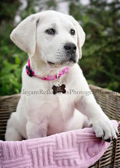Elegant Reflections Photography and Design Reflection Photography, Snuggles, Labrador Retriever, Elegant, Animals, Design, Labrador Retrievers, Classy, Chic