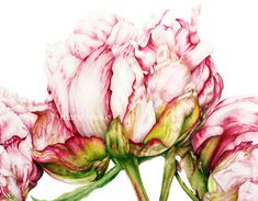 Peonies - fine art print - Large archival botanical print, 16x11 or 13x19 inch, watercolour print, botanical art, Peony print by BlueShedStudio on Etsy https://www.etsy.com/listing/248310368/peonies-fine-art-print-large-archival