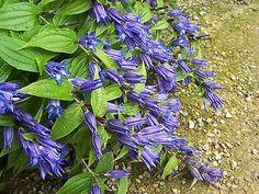 Gentiana-asclepiadae-Willow-Gentian-Hardy-Perennial-