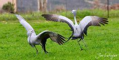 Stunning picture captured by Joe Lategan.  Blue cranes