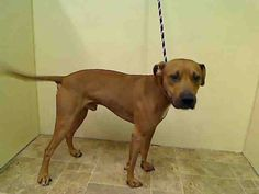 GONE 7/3/2015 --- Manhattan Center WOLFY – A1041031  MALE, TAN, PIT BULL MIX, 1 yr, 6 mos STRAY – ONHOLDHERE, HOLD FOR DOH-HB Reason STRAY Intake condition EXAM REQ Intake Date 06/21/2015