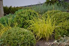 Ogródek Iwony II - strona 158 - Forum ogrodnicze - Ogrodowisko