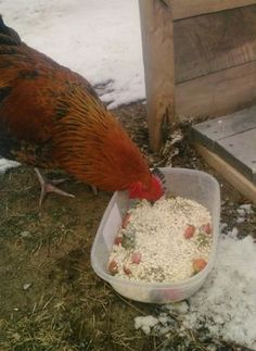 Want better tasting chicken eggs? Here's what to feed your chickens so they'll…