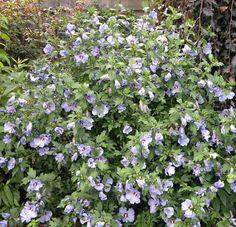 Hibiscus blauw-paars. Hibiscus syriacus 'Oiseau Bleu'. Hibiscus syriacus is de meest geschikte en rijkelijk bloeiende tuinhibiscus. Deze planten worden solitair toegepast, in pot of als haag. Ze stellen weinig eisen en zijn winterhard. Van nature hebben ze een mooie vorm en frisgroen glanzend blad.     Voor een zonnige plaats  of halfschaduw. Bloeitijd: juli t/m sept. Volwassen hoogte: 2meter