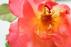 Tea rose close up Free Photos, My Photos, Tea Roses, Photography Portfolio, Graphic Design, Flowers, Plants, Plant, Royal Icing Flowers