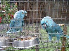 Rio, Ria - Blue Yellow Naped Amazon Parrot