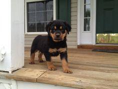 Sunna - 12 week old Rotweiller - my new puppy