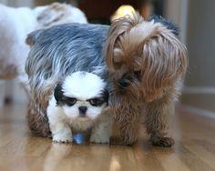 Yorkie and Shih Tzu pup