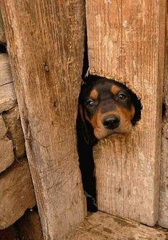#Dobie #puppy