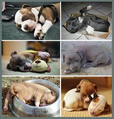 cute sleeping Pit Bull puppies