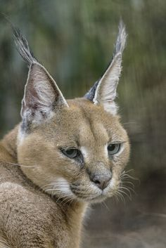 Woestijnlynx (Caracal) 001203 (by bzd1)