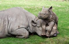 Endangered black rhinos - calf Nyota with mother Vuyu at Port Lympne Wild Animal Parks in Kent, UK.  (Photo by Vincent Catt)