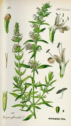 Hysope (Hysopus officinalis)  Remèdes de Grand-Mère