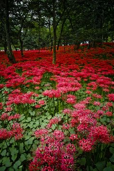 Honshu, Kantō, Saitama - field of Lycoris radiata (red spider lily). Their bulbs are very poisonous and are used to surround paddy fields and houses to keep pest and mice away. Red Spider Lily is mostly associated with death, so one should never give a bouquet of these flowers.