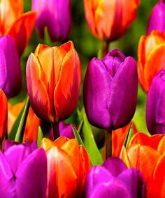Tulpaner 'King and Queen' Mix Bulb Flowers, Colorful Flowers, Spring Flowers, Beautiful Flowers, Flower Show, Flower Art, Sunset Palette, Parrot Tulips, Unusual Plants