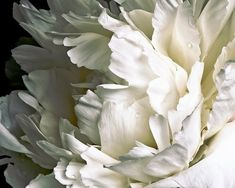 White Peony on Black Background #013 Full Frame, fine art flower photography, nature photograph, wal