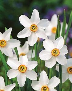 Narcissus Perfume Mix | Renee's Garden Seeds Narcissus Plant, Narcissus Flower, Spring Flowering Bulbs, Spring Bulbs, Chinese New Year Design, Bulb Flowers, Lombok, Garden Seeds, Carnations