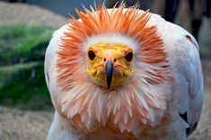 this is one weird looking bird, egyptian vulture