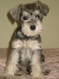 Miniature Schnauzer Puppy Butch: This is Butch, he is about 4 month old in this picture and boy is he ever darling, just so cute✨✨