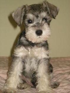 Miniature Schnauzer miniatures, miniature schnauzer puppies, anim, dogs, schnauzers, daisies, ears, miniatur schnauzer, childhood